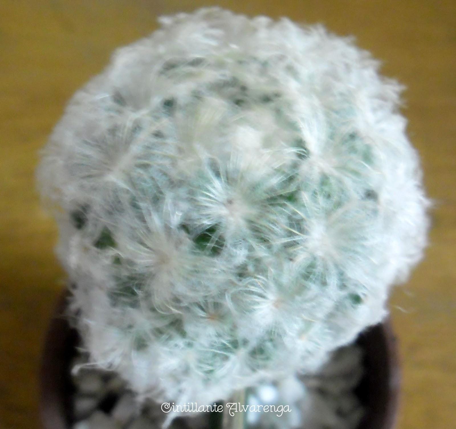 Beleza de cactus