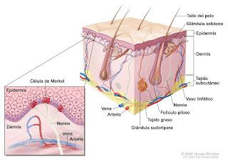 Tacto: Células nerviosas.