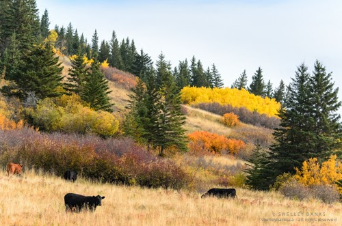 Prairie fall colours in a hillside pasture. Cypress Hills.  Photo © Shelley Banks, all rights reserved.