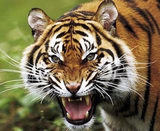 La Bestia de Gevaudan Tigre2