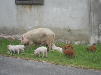 Pigs outside our door