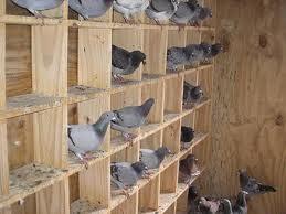 imagenes de palomas 1