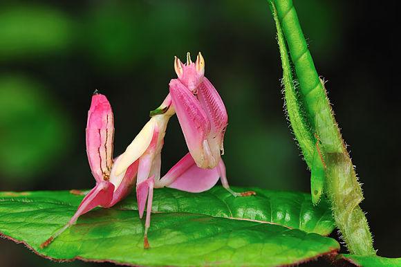 Mantis religiosa rosada