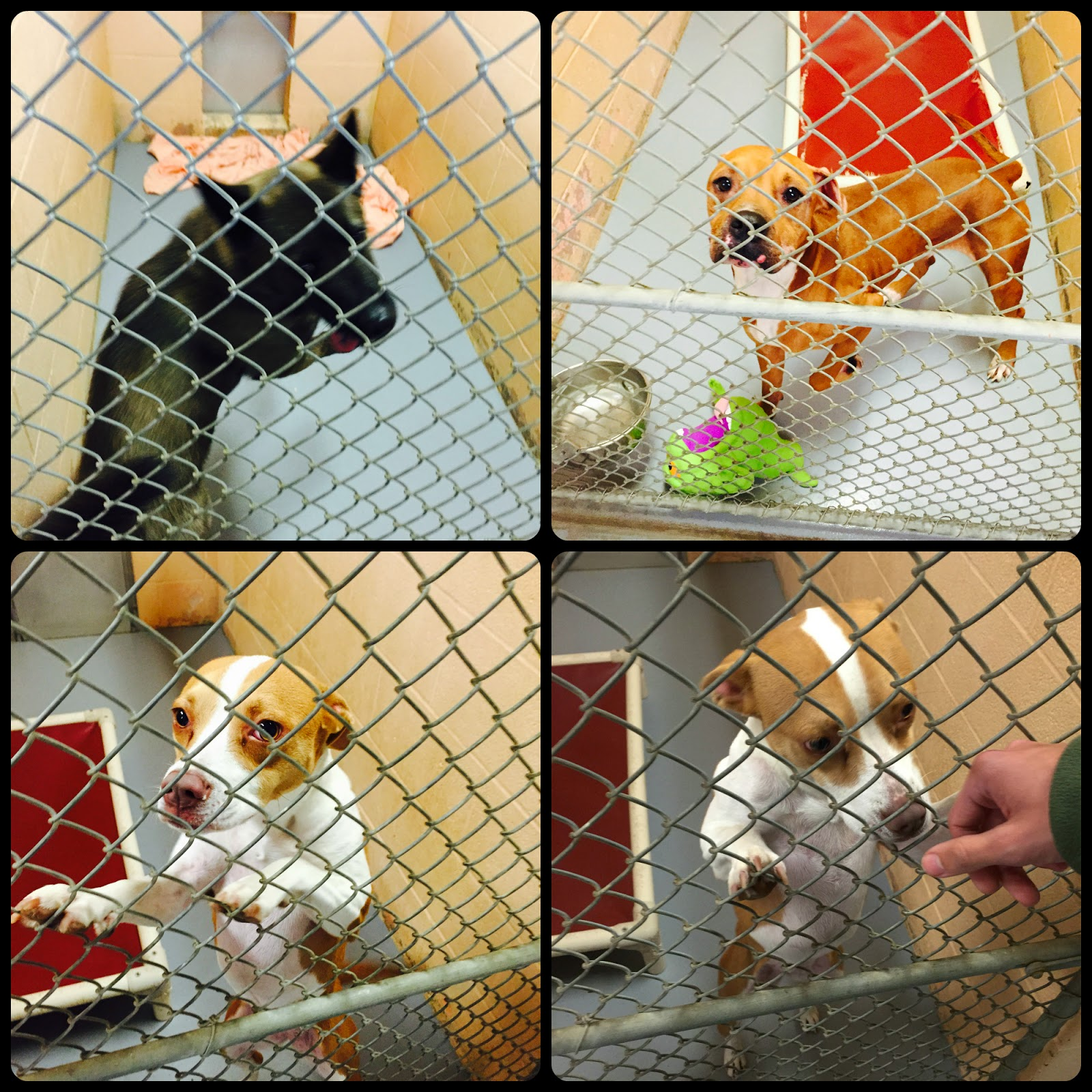 dogs-for-adoption