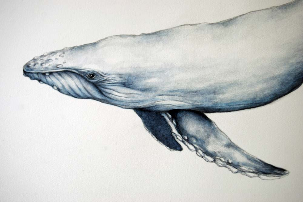 Humpback+whale+drawing