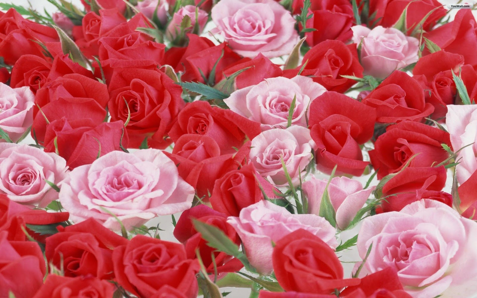 Beautiful Row Of Roses Flowers Hd Wallpapers