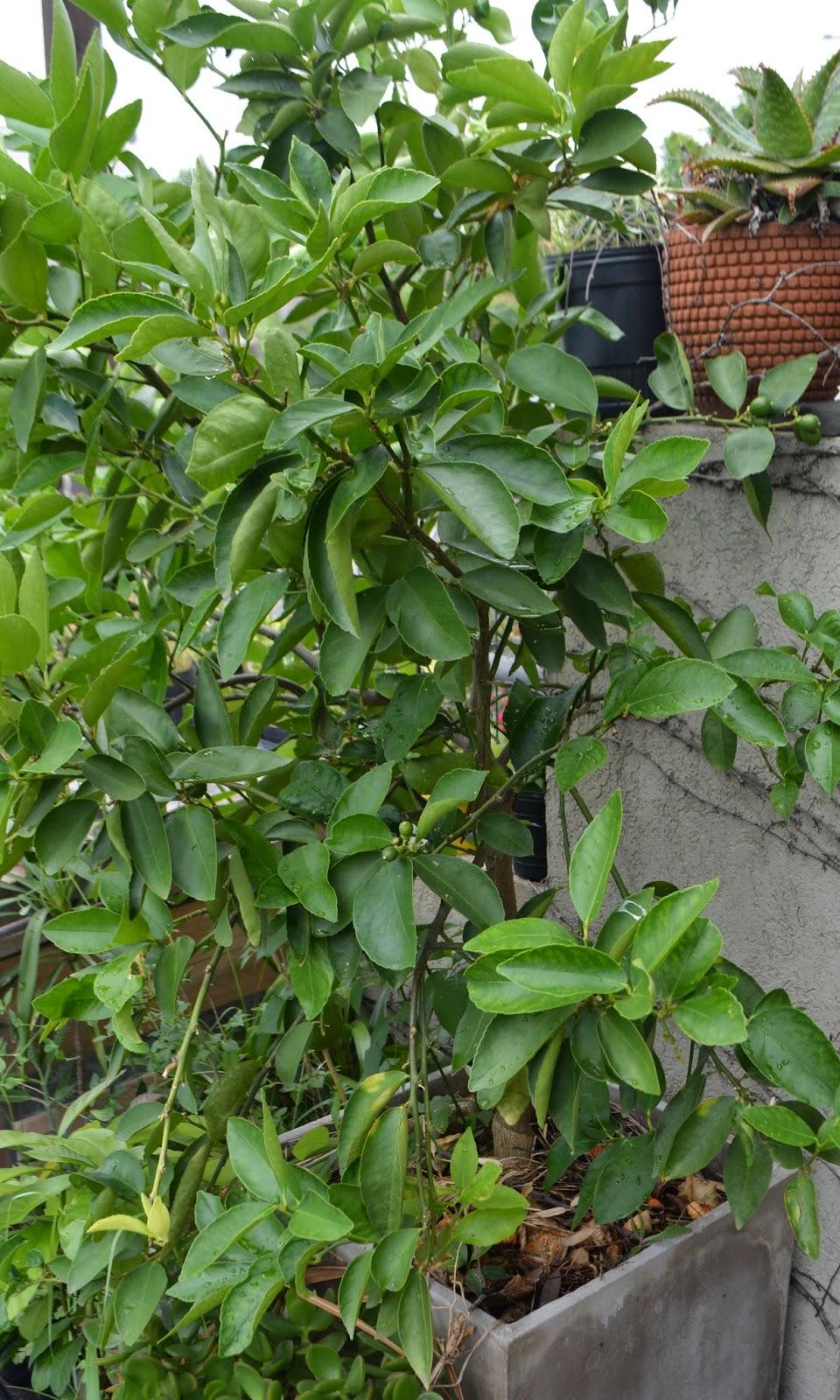 Lim n caipirinha rboles frutales c tricos citrus for Cultivo de arboles frutales en macetas