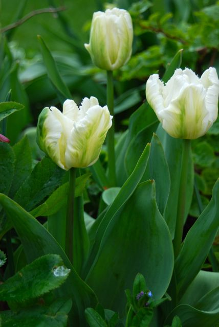 Close-up of Tulip 'White Parrot' around the Circle Lawn.