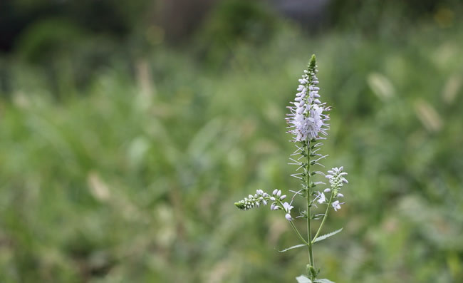 Spike Speedwell Flowers