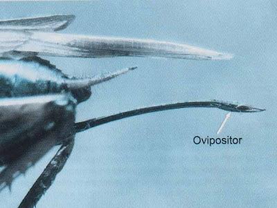 Ovipositor - organ untuk meletakkan telur pada jangkrik