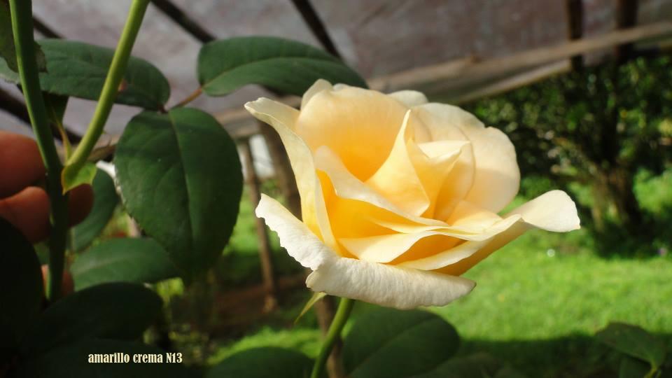 vivero de rosas hermanos acu a contacto On viveros de rosas
