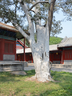 White bark pine at Fahaisi in Beijing