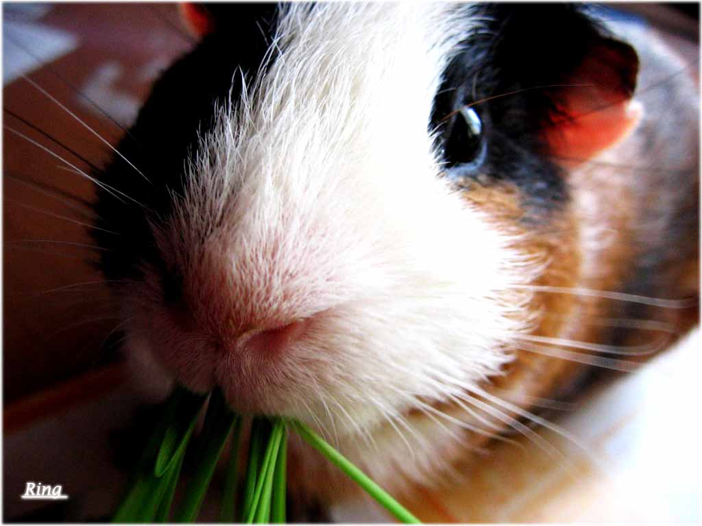 Hd wallpapers guinea pig wallpapers for Free guinea pig stuff