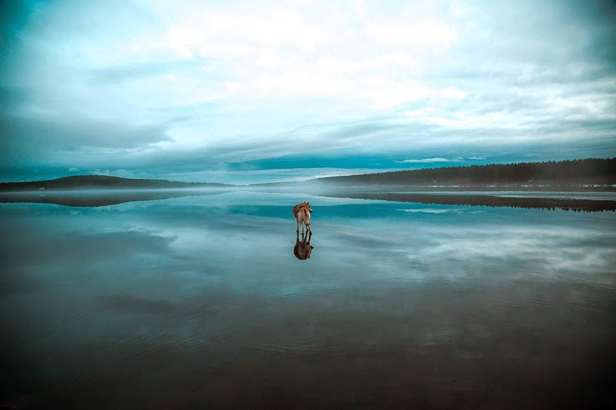 siberian husky playing frozen lake fox grom-6