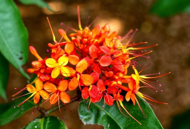Talking plants saracas petal less flowers confuse but are from the when i was visiting in february saraca was one of the most colourful and plentiful trees in flower the clusters of mostly yellow orange or red flowers mightylinksfo