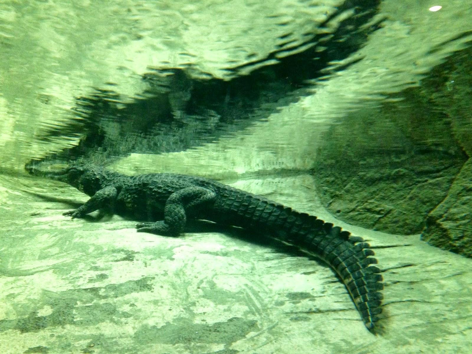 under water croc