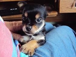 The Chorkie    (Chihuahua-Yorkie)