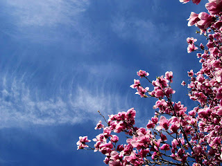 Pink Cherry Blossoms and Sky HD Nature Wallpaper