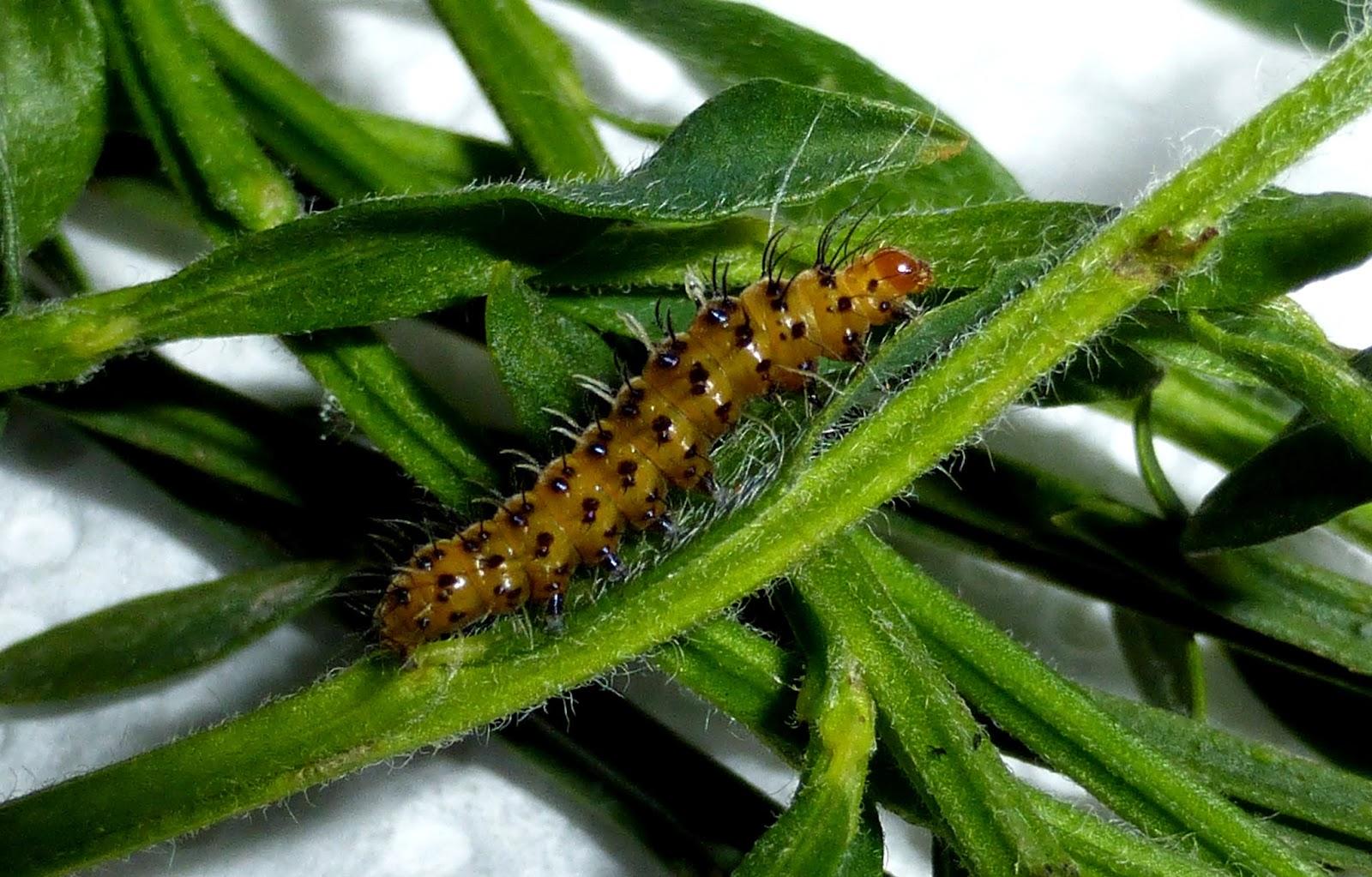 Alytarchia amanda caterpillar