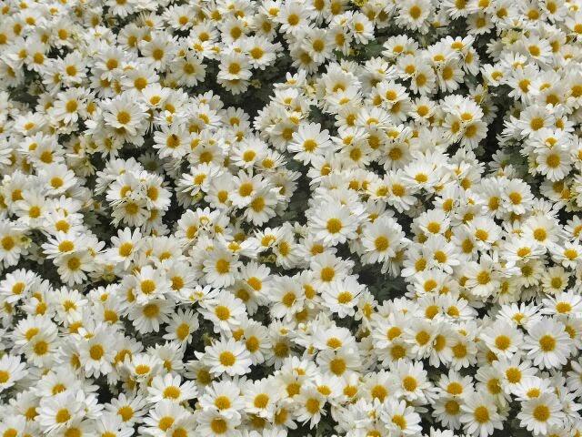 白い懸崖仕立ての菊の花。