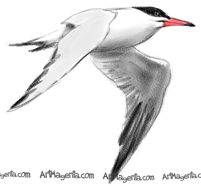 Caspian Tern sketch painting. Bird art drawing by illustrator Artmagenta