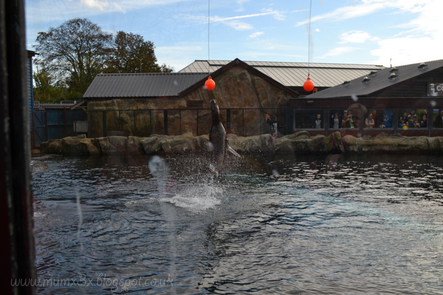 Sealion display. Colchester zoo @ ups and downs, smiles and frowns