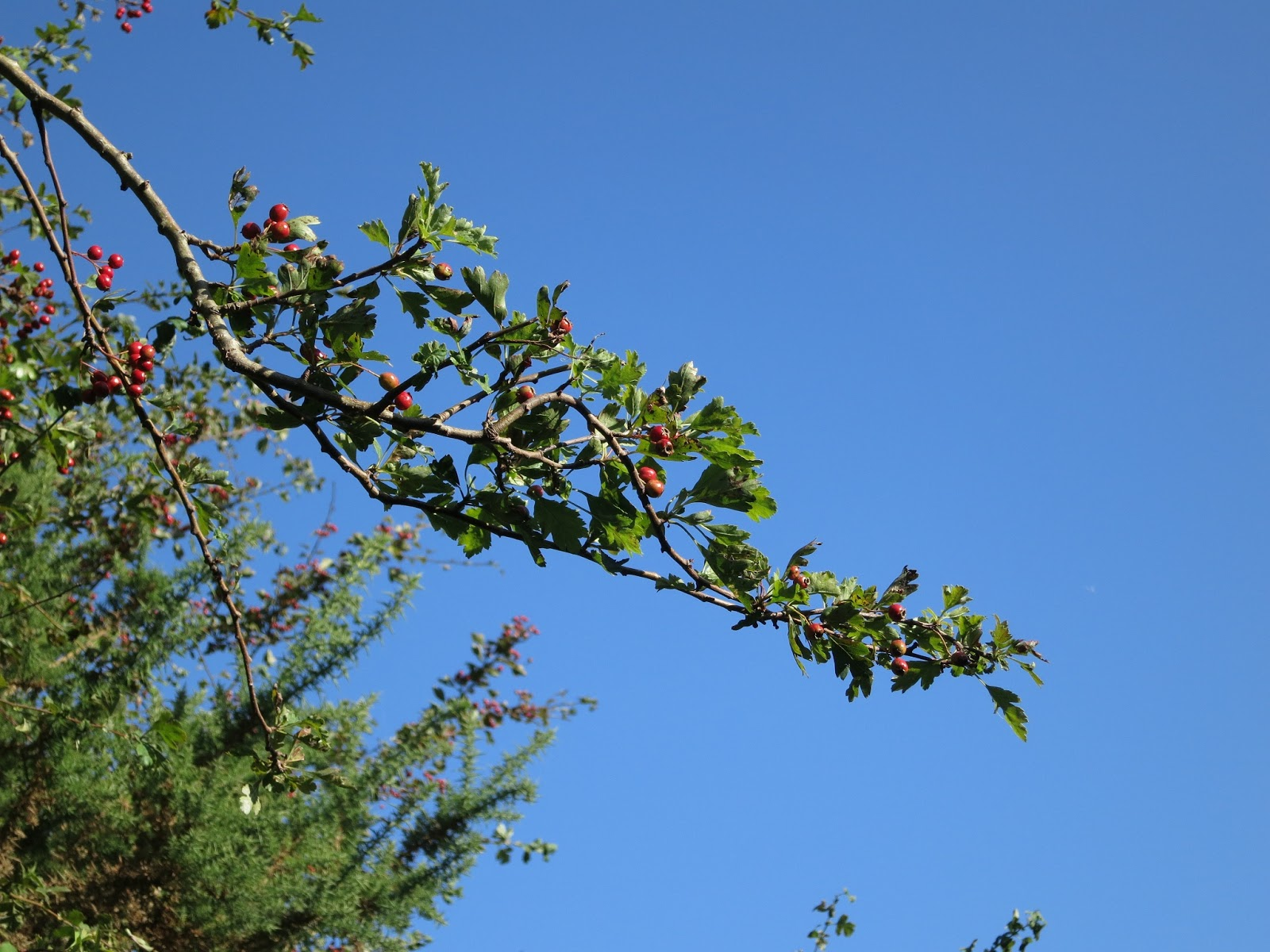 Branch of hawthorn tree with berries against blue sky with gorse in background