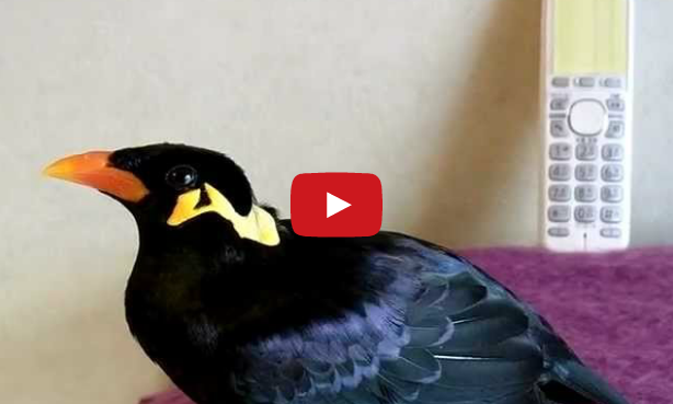 This Bird Can Speak Japanese - photo#28