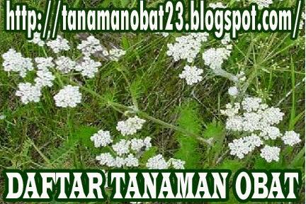 Tanaman Obat Jintan Putih (Cuminum cyminum, Linn.)