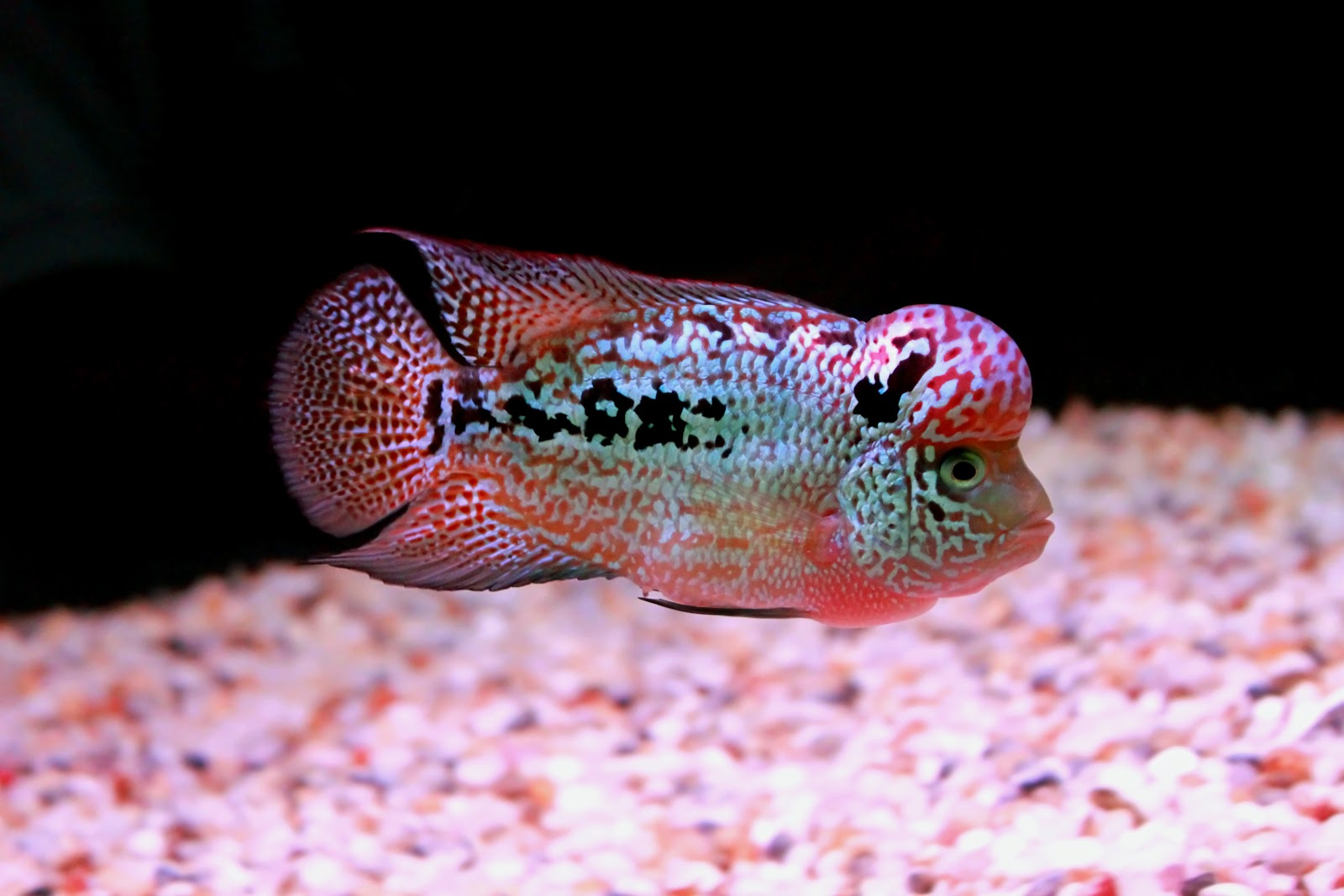 Super mp king kamfa kk 01712 viet nam amg flowerhorn farm for Flower horn fish price