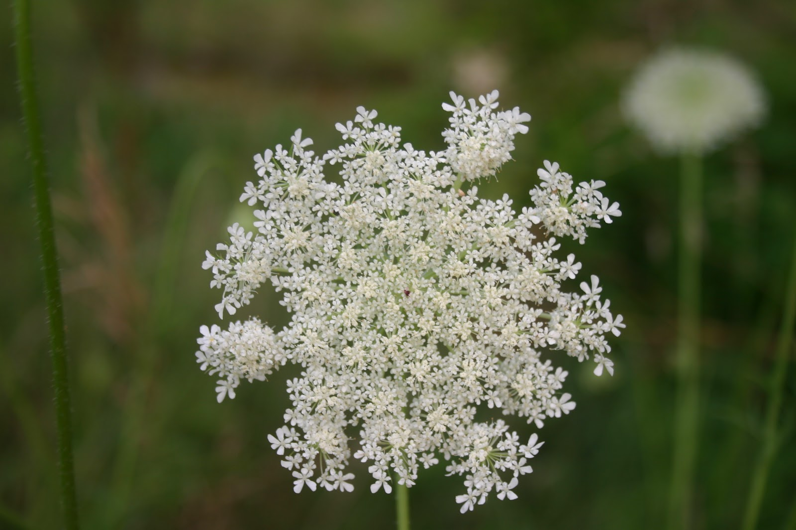 Spoil Yourself Rotten Queen Anne s Lace