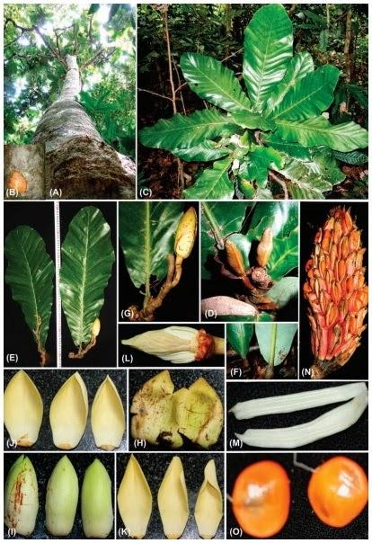 Ngoc-lan-tiep-Magnolia-tiepii