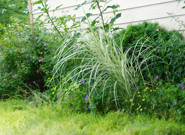 Dwarf miscanthus grass, Miscanthus 'Dixieland', is definitely the favorite of the additions I made to the Driveway Garden last year.