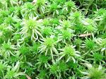 native: sphagnum moss