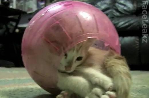 Perjuangan Seekor Anak Kucing Keluar dari Bola Hamster Plastik - FaceLeakz