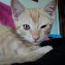 Conjuntivite felina e infecções nos olhos em geral