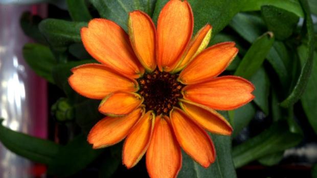 astronaut flower