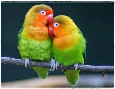 cara merawat dan budidaya burung lovebird