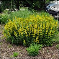 Lysimachia punctata Growth Habit of flowering plant   - Tojeść kropkowana   pokrój kwitnącej rośliny