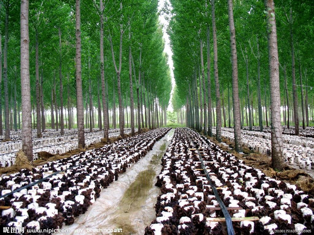 Permafor t le biotope du sureau noir et de l 39 oreille des bois - Culture de l echalote ...