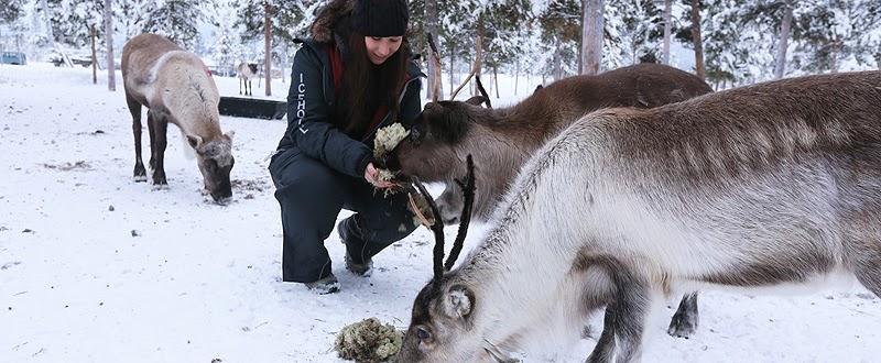 sami reindeer icehotel