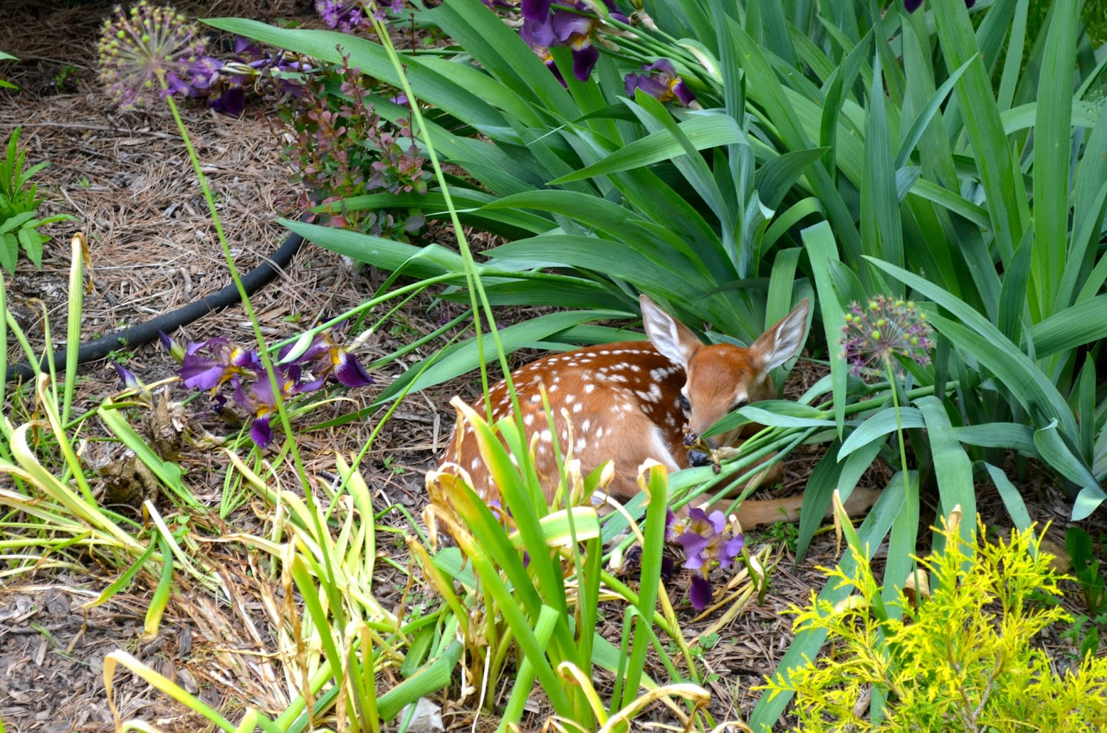 Fawn in the Garden