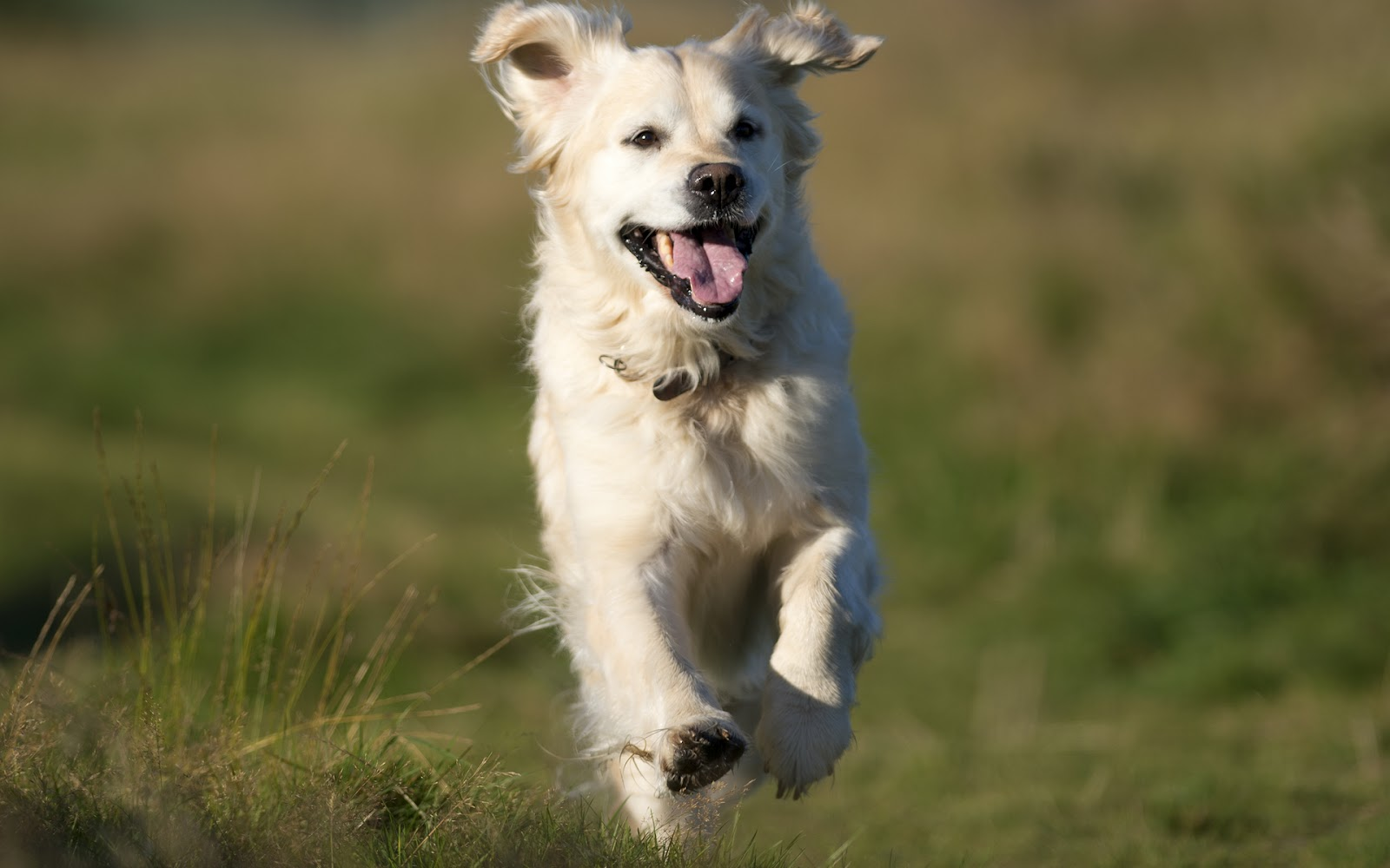 fondo perro golden: