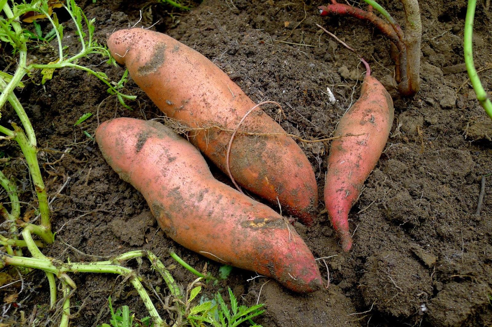 Beauregard Sweet Potatoes, urban farming, gardening, curing sweet potatoes