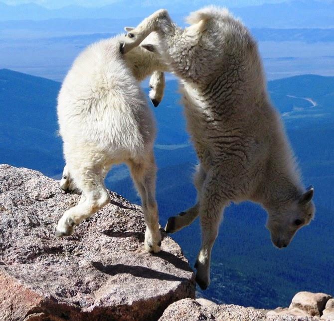 Козлы, которым не ведома боязнь высоты