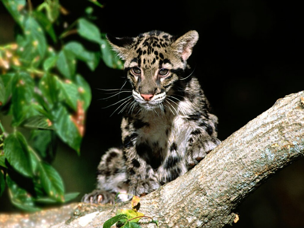 the clouded leopard Carolina bengals cattery in raleigh, nc breeds a variety of exotic kittens for sale including clouded leopard kittens & charcoal bengal cats adopt today.