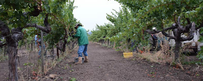 Keep Up With Napa Valley Harvest 2013