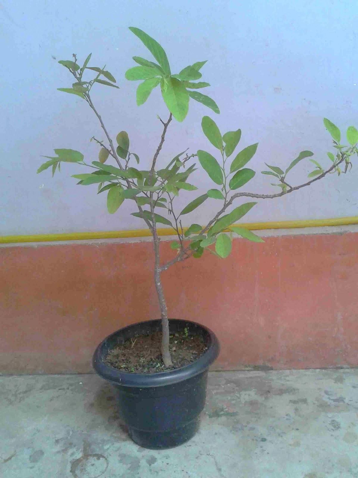 Home Garden Fruit Trees In Pots