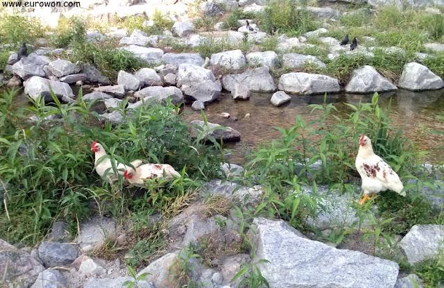 Gallinas en el arroyo Cheonggyecheon del centro de Seúl