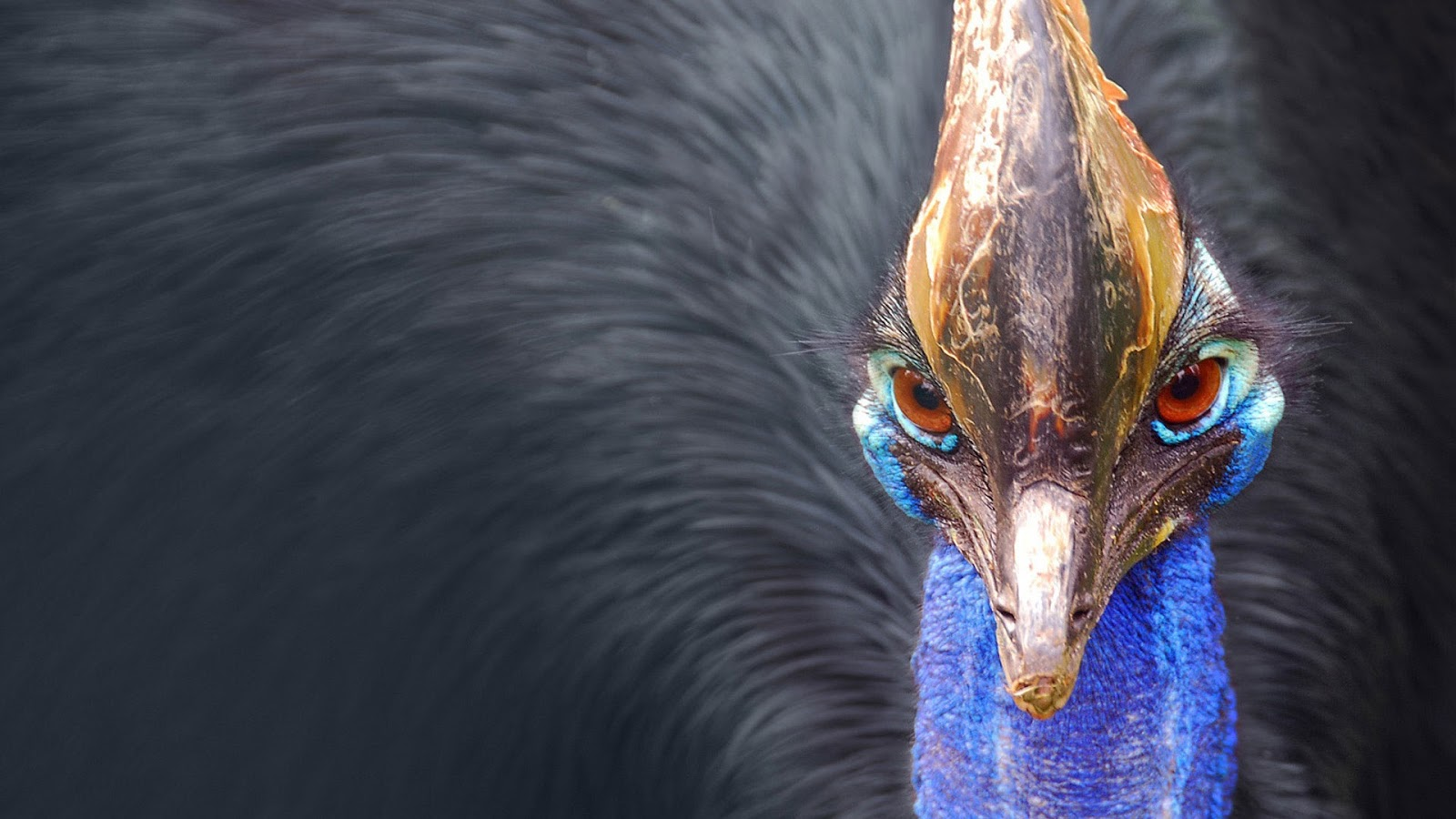 Cassowary Big Bird
